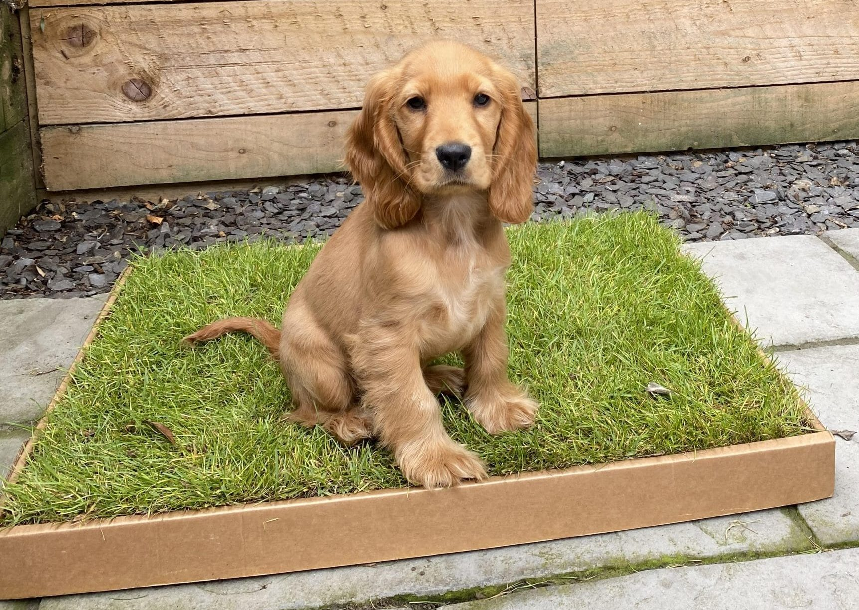 Puppy sitting on their grass-dog-toilet.