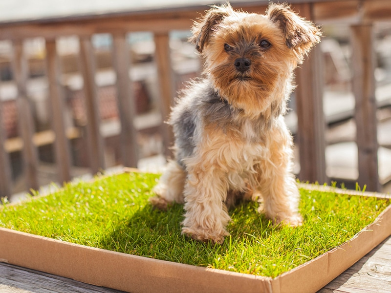 Terrier-on-grass-dog-toilet.