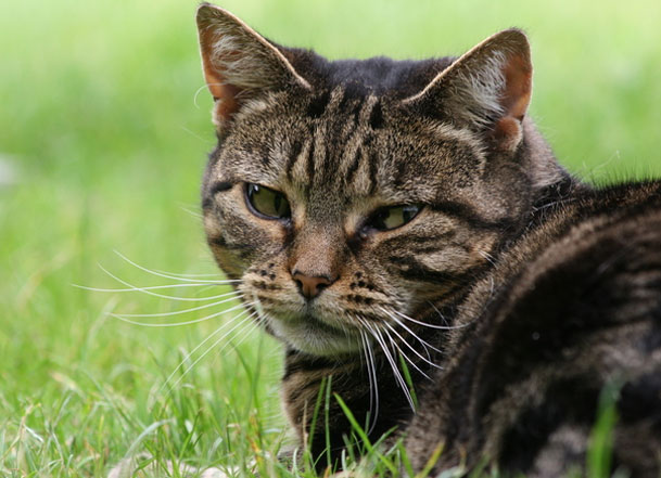A Guide To Hyperthyroidism In Cats The Good Vet Amp Pet Guide