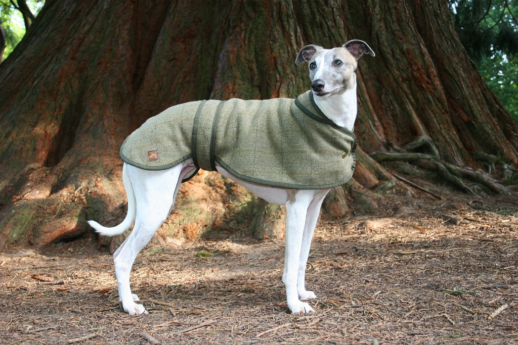 whippet country canine 2 1024x1024