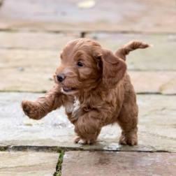 Felindre Cockapoo Puppies - Felindre Cockapoo Puppies