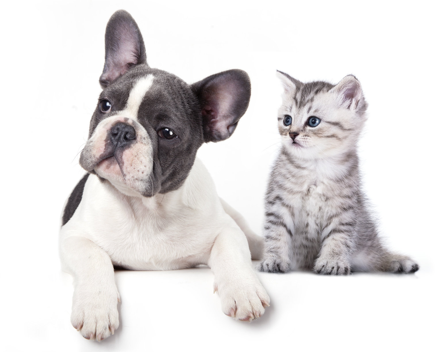 frenchie and kitten