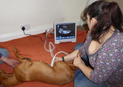 What is Canine Pregnancy Scanning?  by Nina Fotara - Essex Canine Pregnancy Scanning