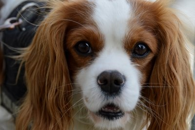 9 yr old Cavalier with Dandruff