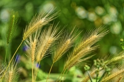 Grass Seeds - The Summer Menace