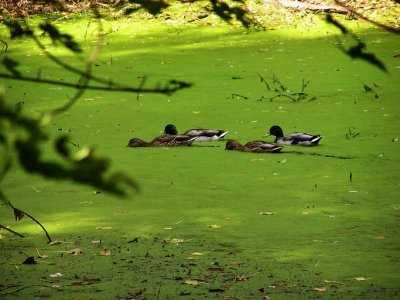 Blue-Green Algae Deadly to Pets