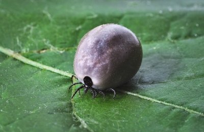 If a tick goes unnoticed, what happens?