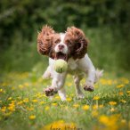 A white and brown Springer Spaniel catching a tennis ball