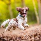 Spaniel running