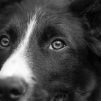 A black and white portrait of a border collie looking into the camera