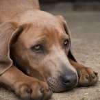 A Rhodesian Ridgeback puppy laying on the ground with his head between his paws.