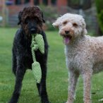 Two labradoodles playing in a garden with a green tug toy