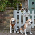 Beagles at the cottage gate