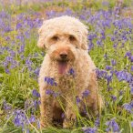 An apricot Labradoodle sitting in the bluebells