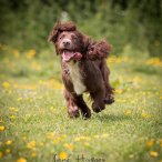 A brown and white springer spaniel running