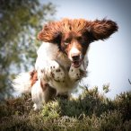 A white and brown Springer Spaniel leaping through the air
