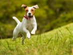 Healthy Terriers in Killorglin