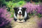 Collie in Lavender