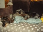 R and M. Dachshunds a couple of yrs looking after these guys