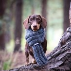 jacob_bruno_mini_dachshunds the Louis scarf.jpg