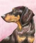 Dachshund in Coloured Pencil by Ellie Jordan